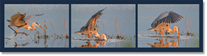 Example of story told with multiple photos - Koziol's Heron catching a Fish